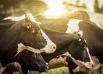 cattle-grazing-in-field-600x450